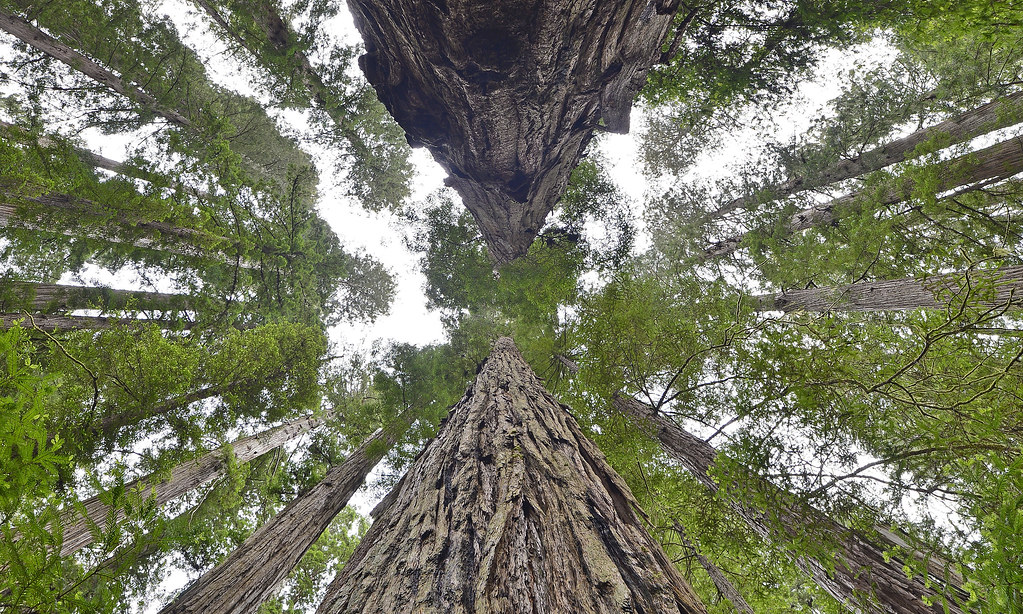 Sequoia or Redwood Forests in the World